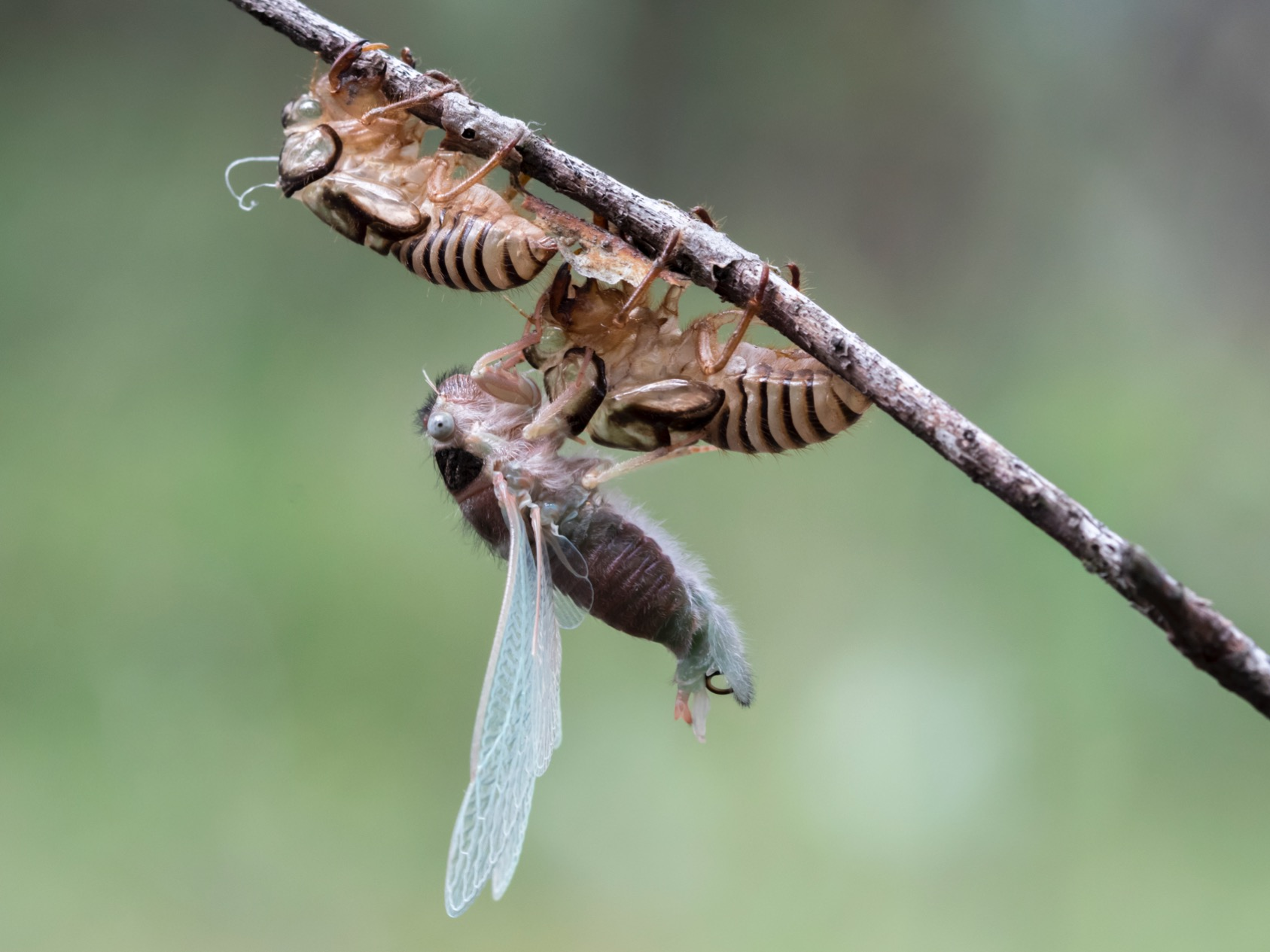 Cicada expanding its wings