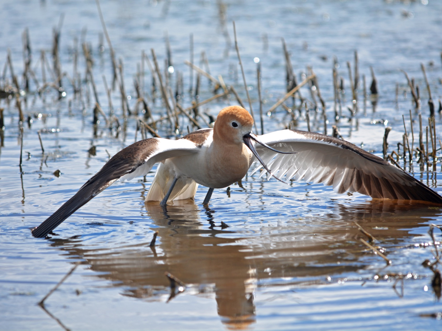 "American Avocet going into a ""broken-wing"" display"